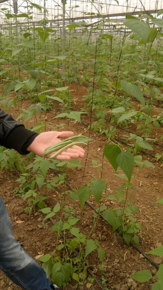 Green Beans 45 days after plantation